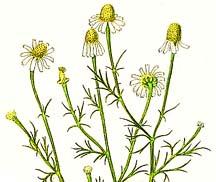 chamomile_herb_no_hotlinking